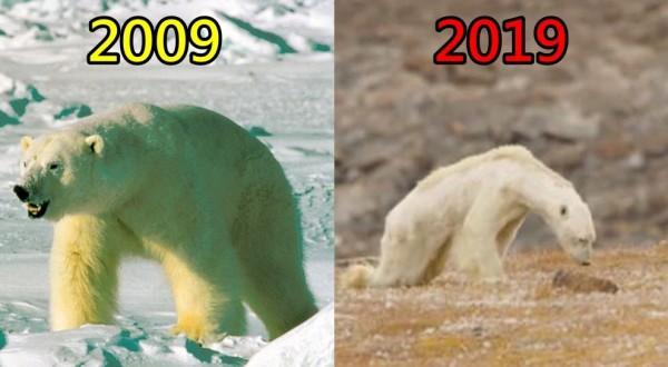 網友做出北極熊「10年挑戰」,讓許多人相當不捨。(左圖美聯社,右圖擷取自Paul Nicklen Instagram)