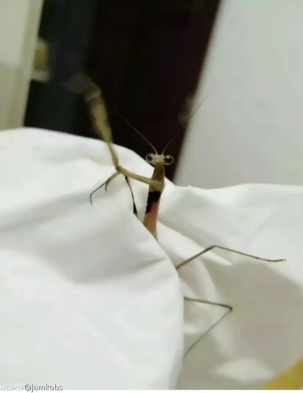 螳螂疑為一名中國網友所飼養。(圖擷取自《虎撲社區》)