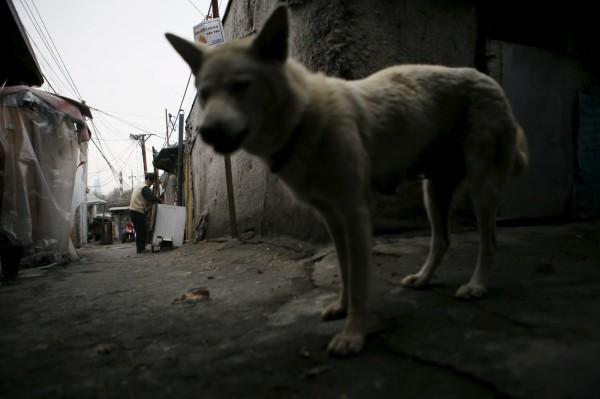 由於印度流浪狗問題嚴重,竟有當地學者提議,建立專門管理流浪狗的農場,方便出口國外。(路透)