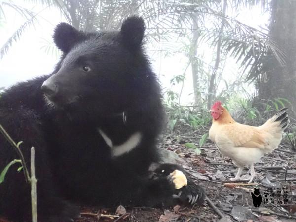 從獵物變好友? 台灣黑熊身邊意外多了「熊麻雞」