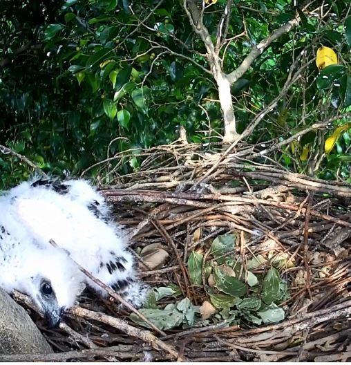 親鳥外出狩獵,其中一隻活潑的雛鳥在巢中啄著樹枝玩,還睜大雙眼望向攝影鏡頭。(擷取自YouTube)