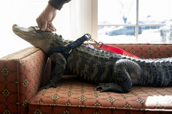 日前美國佛羅里達州的一個家庭,在早上散布於後院時驚見一名巨大的不速之客,一條長達3公尺的短吻鱷正在泳池的池底休息。圖為短吻鱷示意圖。(美聯社)