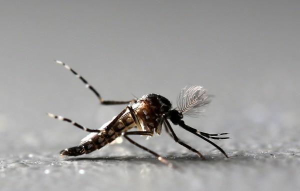 美國紐約洛克菲勒大學的研究團發現,若給蚊子餵食減肥藥溶液,可防止蚊蚋叮咬人類,一些致命的疾病也就不會傳播。(路透)