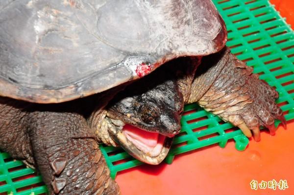 美國一名中學科學老師當著學生的面,餵兇猛的擬鱷龜吃一隻幼犬,引起極大爭議。(資料照)