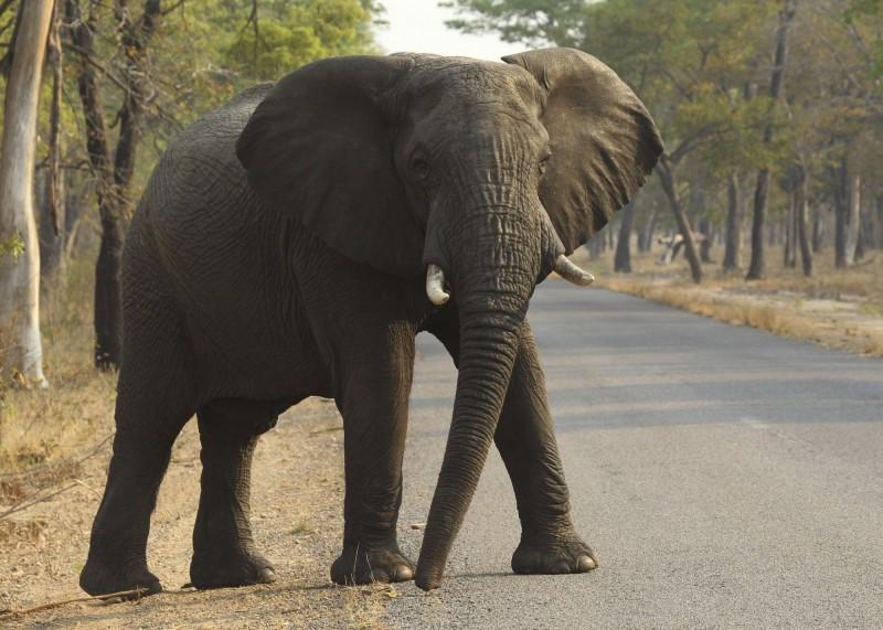 辛巴威野生動植物機構週三(15日)表示,該國已經向中國和杜拜出售了近100隻大象。(美聯社)
