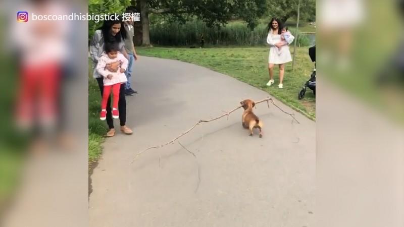 Boscoo喜歡叼著樹枝散步。(Instagram boscoandhisbigstick 授權)