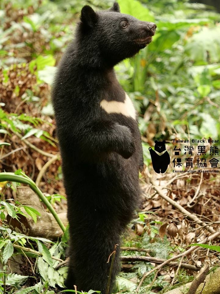 可愛的南安小熊在網路上受到不少「熊粉」關注。(台灣黑熊保育協會提供)