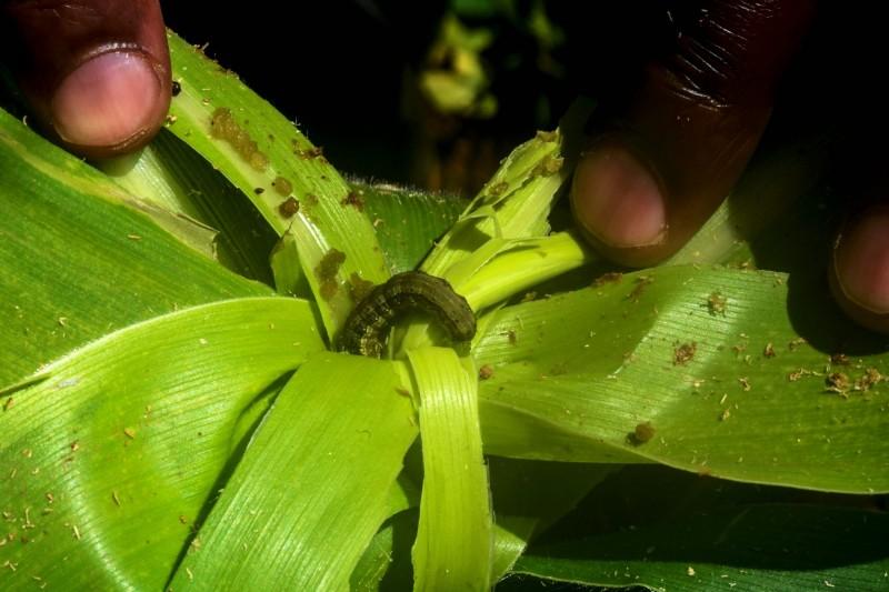 秋行軍蟲對農作物威脅極大,目前尚無大規模撲殺辦法。(法新社)