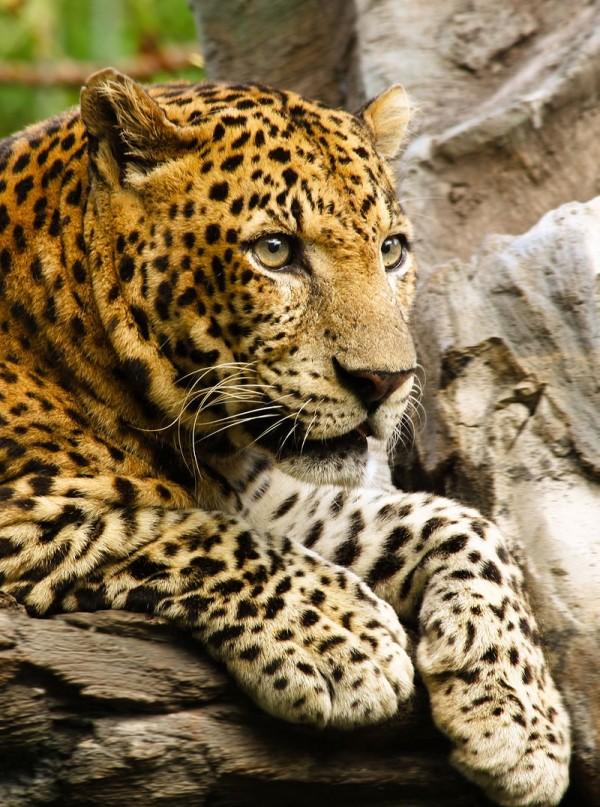 印度近日發生一起野豹吃人事件,受害女童死狀悽慘。示意圖。(圖擷取自維基百科)