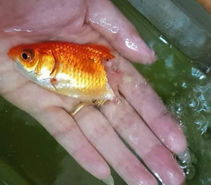 泰國一名女飼主甘亞(Kanya Tantiwiwatkul)養的金魚因生病導致靠近魚尾部分腐爛,露出魚骨,不過她沒有放棄,堅持帶著牠的照片到水族館詢問能治療的藥物。(圖擷取自臉書)