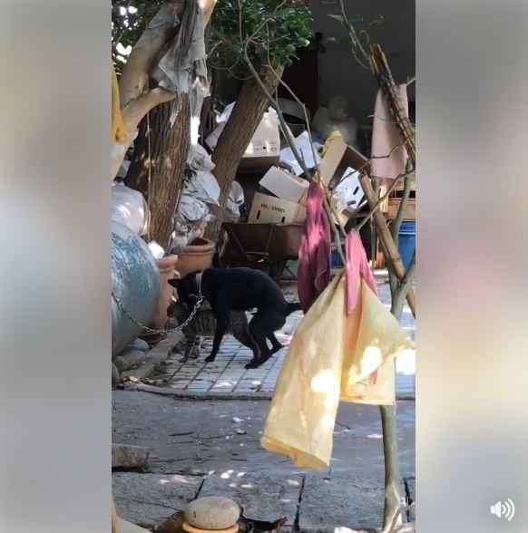 黑色台灣土狗疑似因相當中意一隻虎斑貓,竟在光天化日下想與對方上演活春宮。(圖擷取自影片)