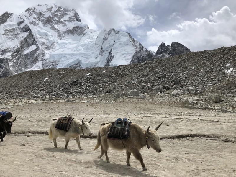 印度與中國的交界處,一群犛牛被大雪圍困5個月,至少有300頭活活餓死。犛牛示意圖。(美聯社)