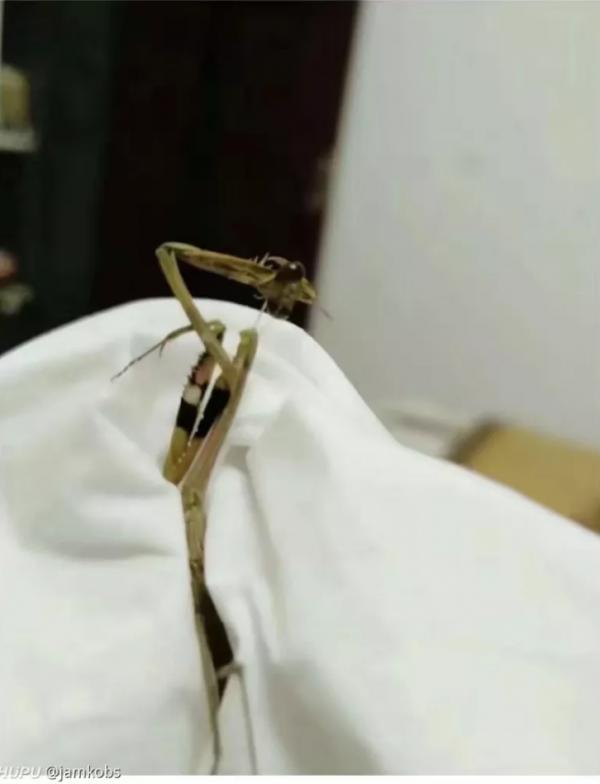 螳螂身首分離,前足更拎著自己的頭,貌似是自己自殺而死,不過離奇的死法也令網友懷疑螳螂難道是「被自殺」。(圖擷取自《虎撲社區》)
