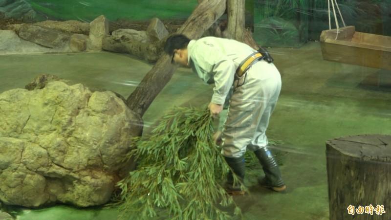 大貓熊對食物非常挑剔,飼育員每天都必須挑選鮮嫩的竹葉,並且清洗乾淨。(記者張家寶攝)