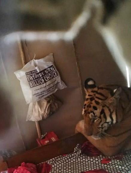 老虎跑進民宅裡睡覺。(歐新社)