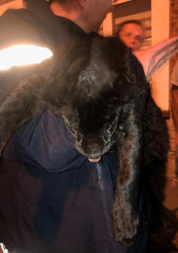 黑豹被獸醫用麻醉鏢射中,昏迷後吐舌頭。(法新社)