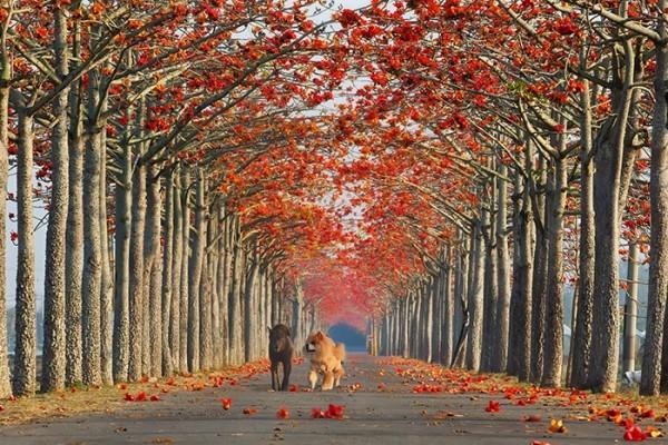白河鎮的林初埤木棉花道獲選為第11名,成為亞洲唯一上榜的街道。(圖擷取自BoredPanda)