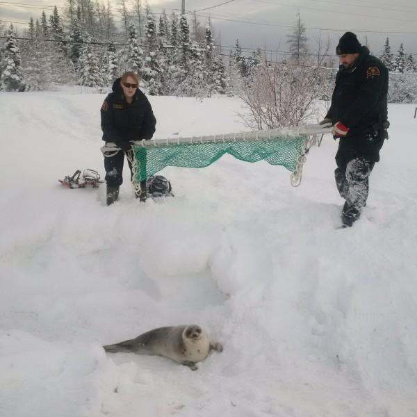 加拿大漁業及海洋部派員救助海豹。(路透)