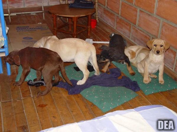 幼犬經過手術取出液體海洛因袋,但有3隻因術後感染死亡。(美聯社)