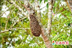 樹上見蜂球 專家︰蜜蜂分巢