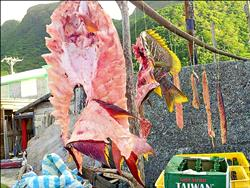 國際保育魚蘭嶼落難 龍王鯛慘變生魚片