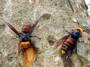 石碇驚傳虎頭蜂圍攻遊客 10多人遭螫傷
