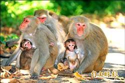 壽山獼猴估1500隻 學者警告達負載上限