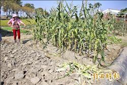 新港基金會農場 夜賊偷玉米