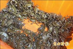 大甲溪復育有成 毛蟹大豐收