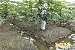 魚樹共生 種出有機木瓜