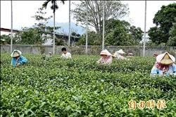 冬片茶產量銳減 鹿野農憂年歹過