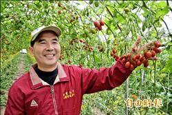 隧道式種小番茄 產量倍增又省工