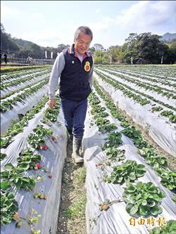 無農藥草莓 農試所推栽培新技術