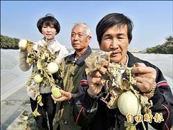 安南洋香瓜長不大 瓜農盼補助