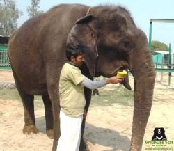 大象失明沒用 遭馬戲團關入窄籠虐待