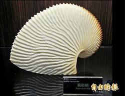 扁船鞘章魚外殼 潮間帶發現