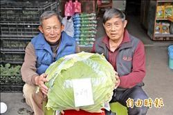 54年頭一遭 種出26台斤高麗菜