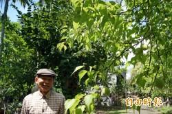 縱谷梅子減產8成 政府推停採補助