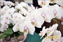 蝴蝶蘭新品種 獲美銀牌獎