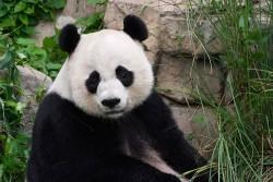 美貓熊「外配」中國冷凍精子受孕 專家:最佳基因