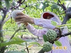 農忙缺工 台東5農會徵農事代工