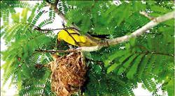 瀕絕黃鸝遭盜巢 鳥媽媽痛失3雛