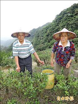 茶風暴頻傳 坪林有機茶安心喝