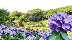 花期到7月 竹子湖繡球花盛開