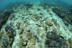 海參復育有成 澎湖海域重現正常數量