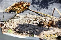 樹園防破壞 設監視器、鐵網、陷阱