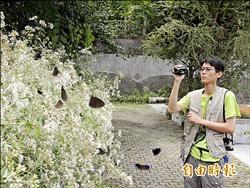 紫斑蝶北遷 梅圳國小作休息站