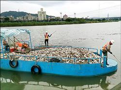 砸錢整治無效?基隆河1.5噸魚翻肚