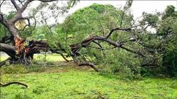 颱風吹倒樹  成大意外掀起「皇子樹」考據