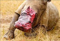 同屬瀕危動物 象皮繃帶治傷殘犀牛